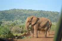 Elephant blocking the road during our safari